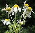 Anthemis cotula inflorescence (05).jpg