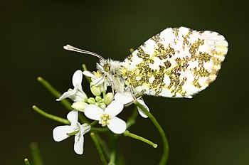 Anthocharis cardamines-02 (xndr).jpg