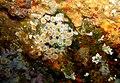 Anthothoe albocincta - Poor Knights Islands - 4328874082.jpg