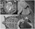 Anthropogenic injuries to diamondback terrapins.png