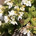 Apis mellifera-Arabis alpina-Pleney-20160317.jpg