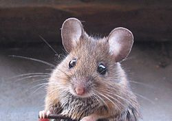 House mouse, Mus musculus