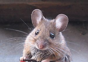 Rodent - Wood mouse with its long whiskers