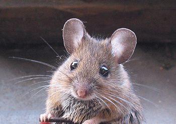 Un topo domestico