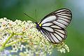 Aporia genestieri insularis 20150622.jpg