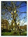 April Magnolia grandiflora Freiburg Botanischer Garten - Master Botany Photography 2013 - panoramio (12).jpg