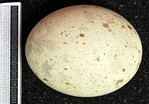Steppe eagle - Egg, Collection Museum Wiesbaden
