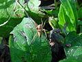 Araña-Wolf spider.jpg