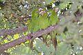 Aratinga euops -Cuba -three-8.jpg