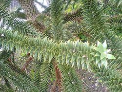 Nærbillede af abetræets grene, i Visby botanisk have