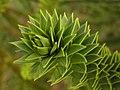 Araucaria araucana ArboretumMT Zweig.jpg