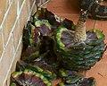 Araucaria bidwillii cone.jpg
