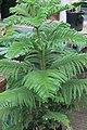 Araucaria heterophylla 11zz.jpg