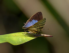 240px arawacus meliboeus