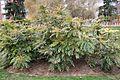Arbusto Mahonia (1) (11983490373).jpg