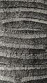 Archontophoenix cunninghamiana trunk (SLiM).jpg