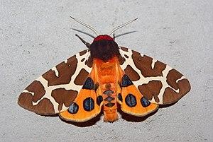 Garden tiger moth Deutsch: Brauner Bär Françai...