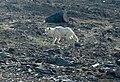 Arctic Wolf (2738930713).jpg