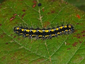 Scarlet tiger moth - Image: Arctiidae Callimorpha dominula 2