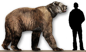 Short-faced bear - A. simus compared to a human