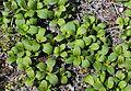 Arctous alpina var. japonica (leaves).JPG
