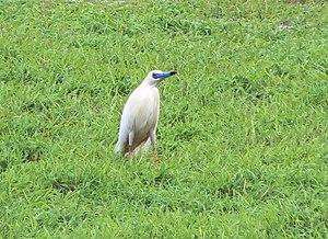 Malagasy pond heron - Image: Ardeola idae