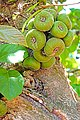 Argentina-01472 - Wild Fig Tree (48995004787).jpg