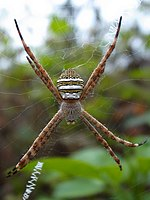 Female Argiope aemula