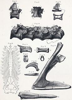 <i>Aristosuchus</i> species of reptile (fossil)