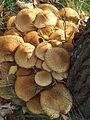 Armillaria-mellea-1624.jpg