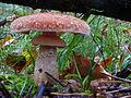 Armillaria ostoyae DSCF5986.jpg