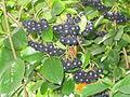 Aronia melanocarpa fruit.jpg