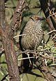 Arrow-marked Babbler, Turdoides jardineii, at Pilanesberg National Park, Northwest Province, South Africa (28054595144).jpg