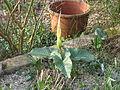Arum creticum Marmaris White (13163276565).jpg