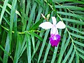 Arundina graminifolia Sinharaja.jpg