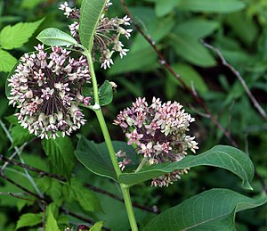 Asclepias - Asclepias syriaca showing flowers and latex.