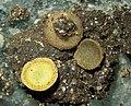 Ascobolus denudatus 846765.jpg