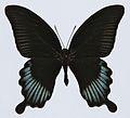 Asian Swallowtail (Papilio lowii) (8420041181).jpg