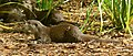 Asian small-clawed otter444.jpg