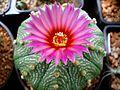 Astrophytum flowers 25.jpg