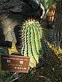 Astrophytum ornatum1.jpg