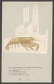 Atya scabra - - Print - Iconographia Zoologica - Special Collections University of Amsterdam - UBAINV0274 006 02 0041.tif