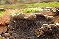 Auricularia mesenterica 56448613.jpg