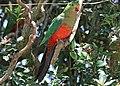 Australian King Parrot (f) JCB.jpg
