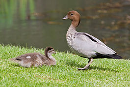 Australian wood duck - male and duckling.jpg