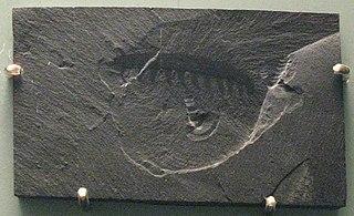 Fossil av Aysheaia pedunculata, ett djur nära besläktat med dagens klomaskar, och förfader till det första landlevande djuret.