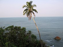 coconut  coconut tree in kannur beach