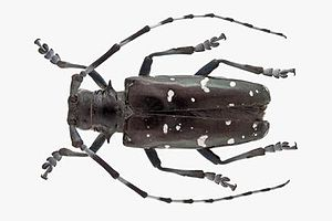 Asian long-horned beetle - Image: Aziatische boktor