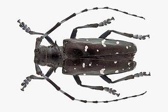 Asian long-horned beetle - Image: Aziatische boktor
