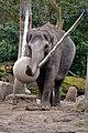 Aziatische olifant (16869719310).jpg